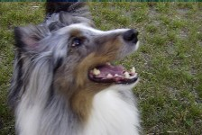 Shelties! and more!